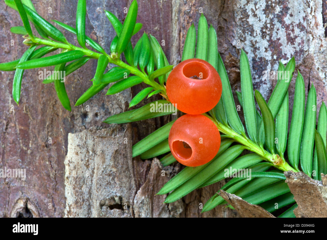 Pacific Yew tree, Elliptical seeds 1/4' long, enclosed in scarlet cups. - Stock Image