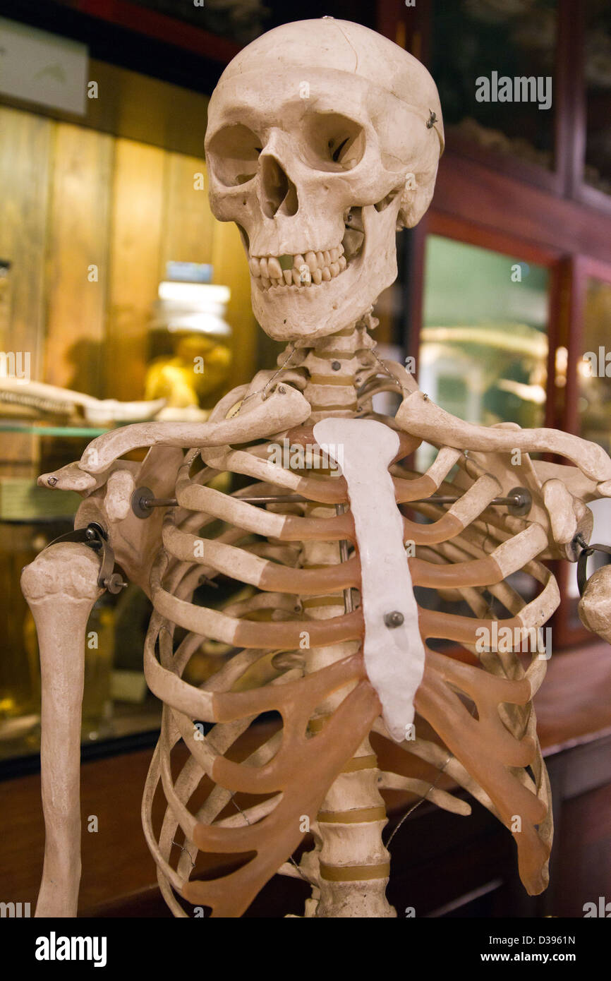 Skeleton from the Museum of Zoology - Stock Image