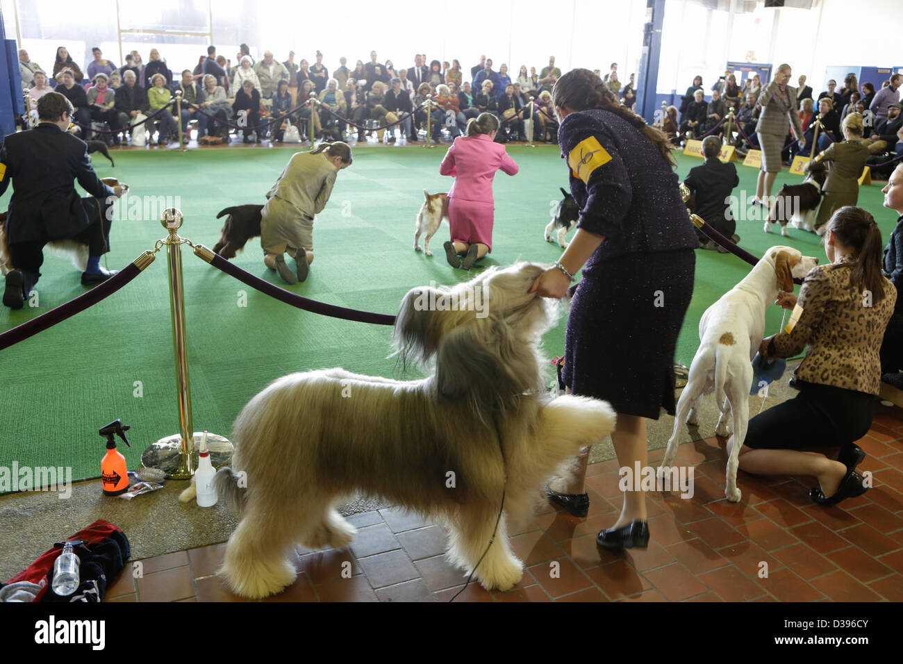 New York City, US, 12 February 2013. The Briard Cagney frolics with his handler while waiting to enter the ring. Stock Photo