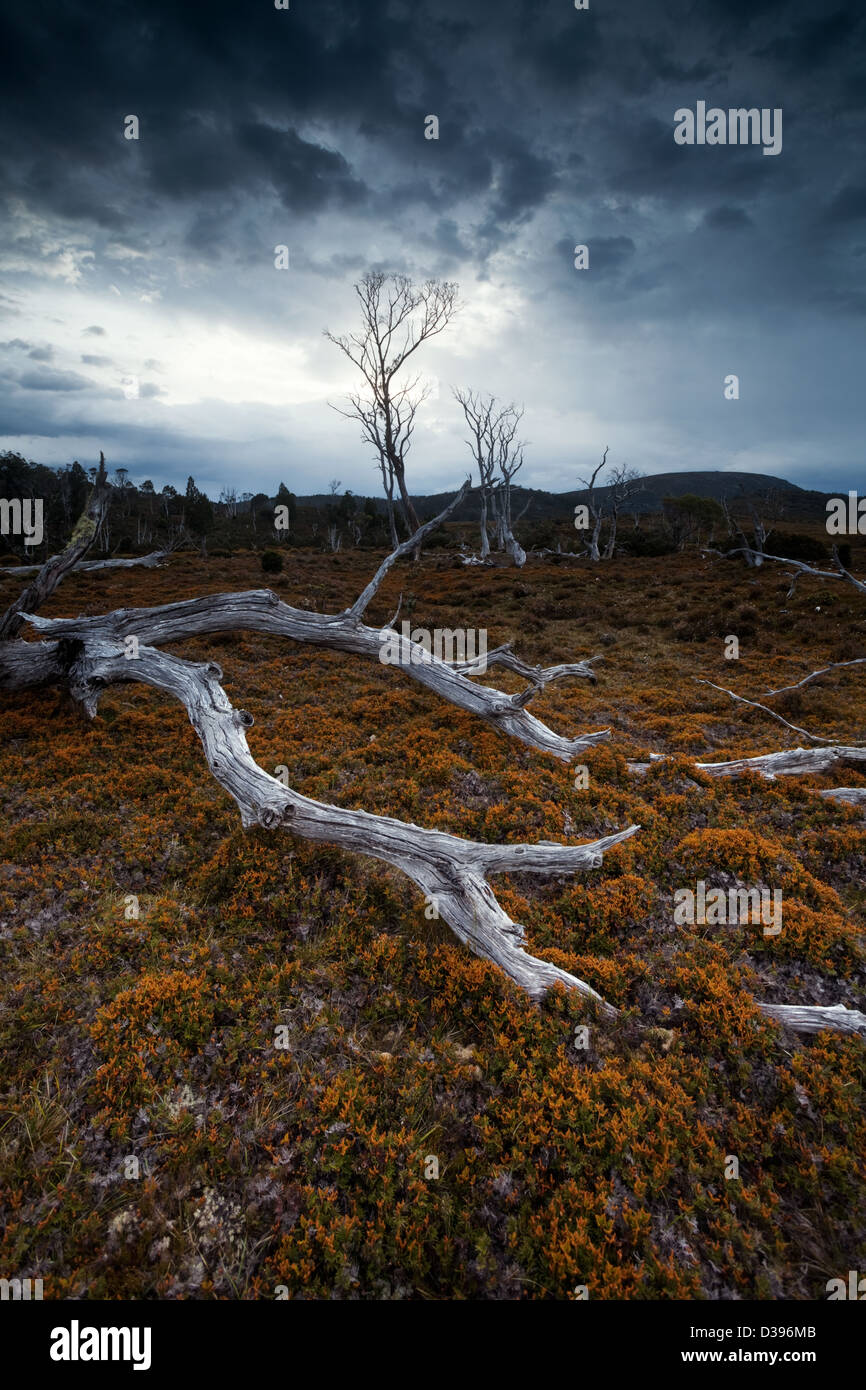 Dead trees, Cradle mountain national park, Tasmania, Australia - Stock Image