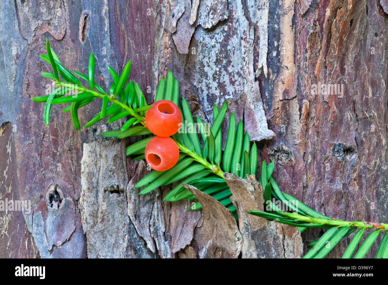 """Pacific Yew tree, Elliptical seeds 1/4"""" long, enclosed in scarlet cups. Stock Photo"""