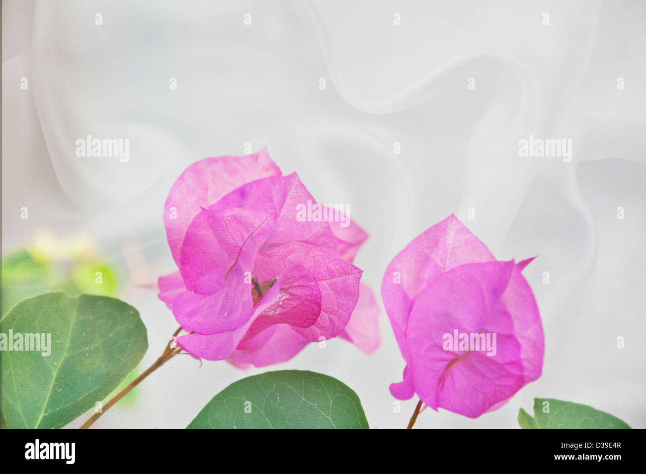 These are pastel pink Bougainvillea tropical flowers on a white silk background with plenty of room for text. - Stock Image