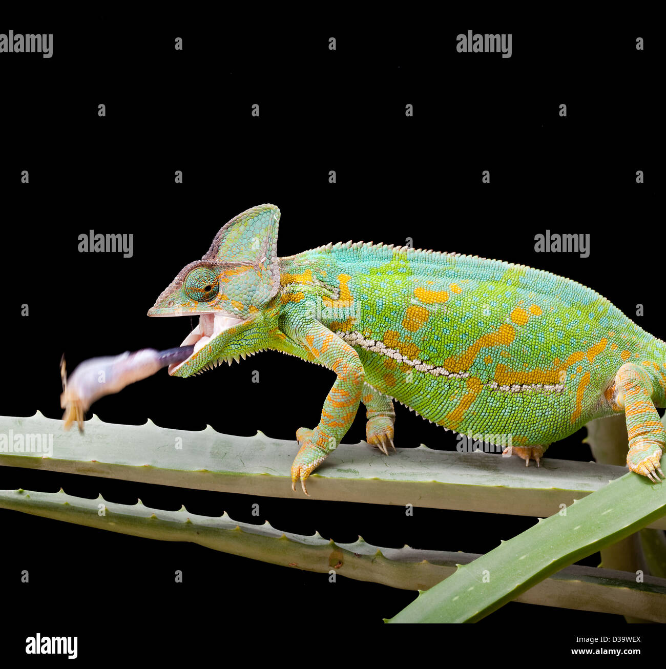 Yemen or Veiled Chameleon catching a grasshopper in a split second - Stock Image