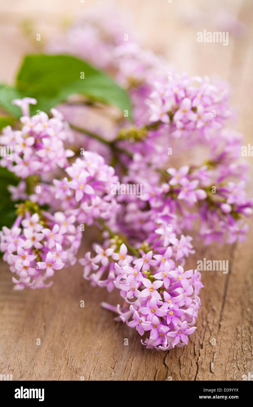 lilac flowers - Stock Image