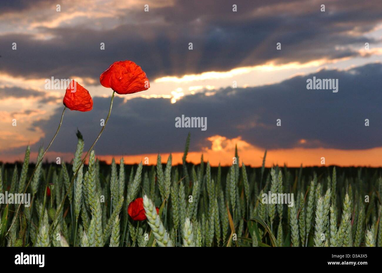 (dpa) - Sunset with red sky over a field with poppies in Dolgelin, Germany, 11 June 2002. Stock Photo