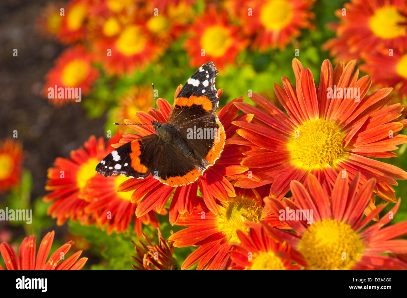 Red Admiral butterfly Vanessa atalanta, on chrysanthemum flowers uk - Stock Image