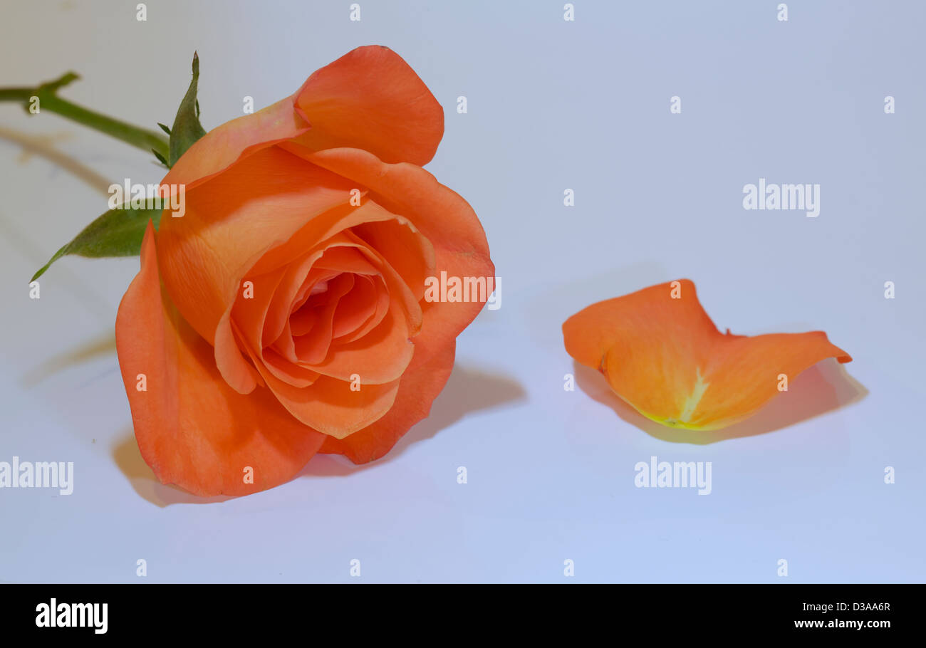 Beautiful orange rose on a white background with a single petal to the right side - Stock Image