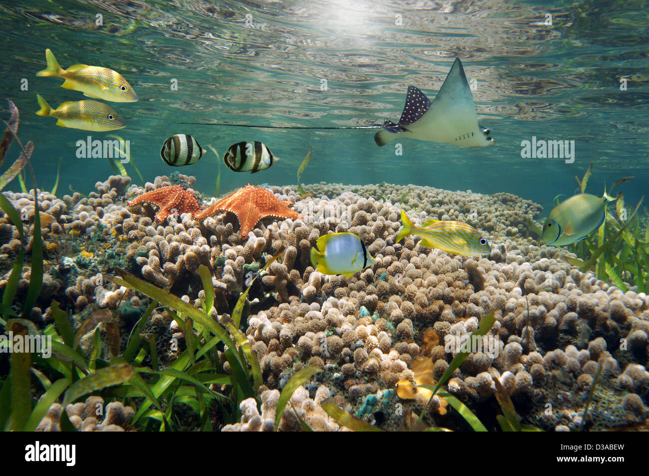 Underwater sea life in a shallow coral reef with tropical fish, starfish and an eagle ray, Caribbean sea - Stock Image