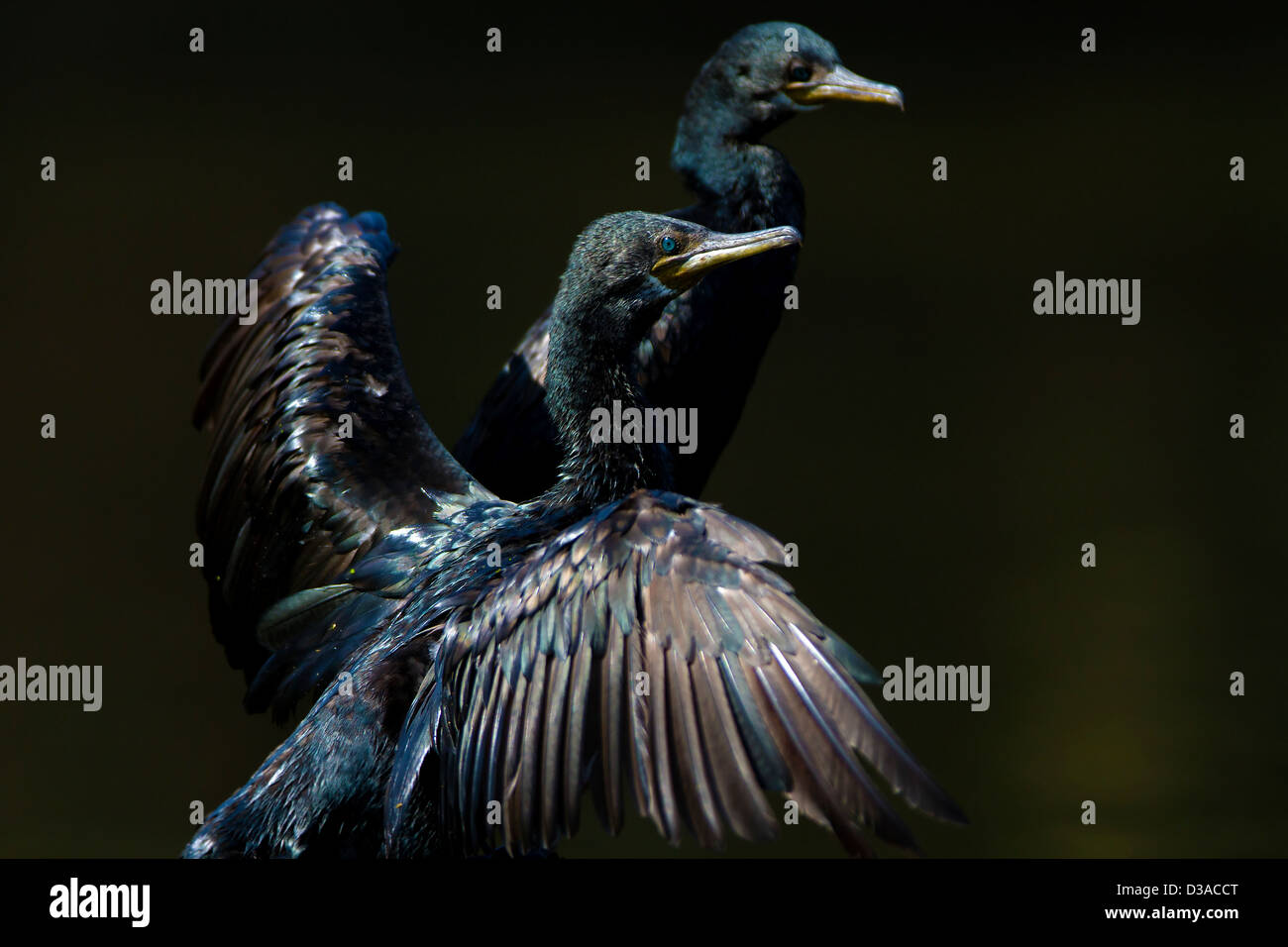 Little cormorant drying its wings - Stock Image