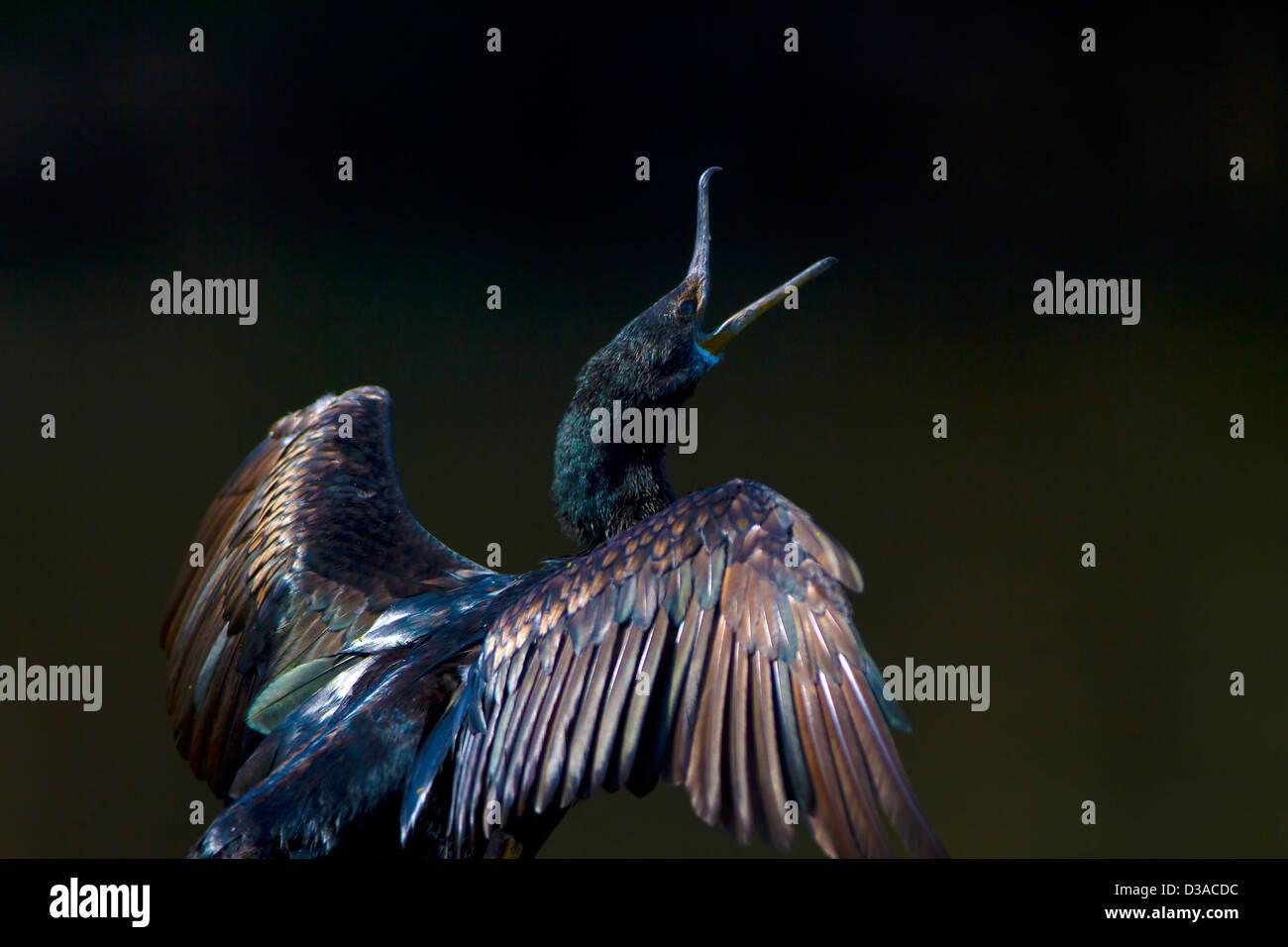 Little cormorant drying its wings  Little cormorant drying its wings - Stock Image