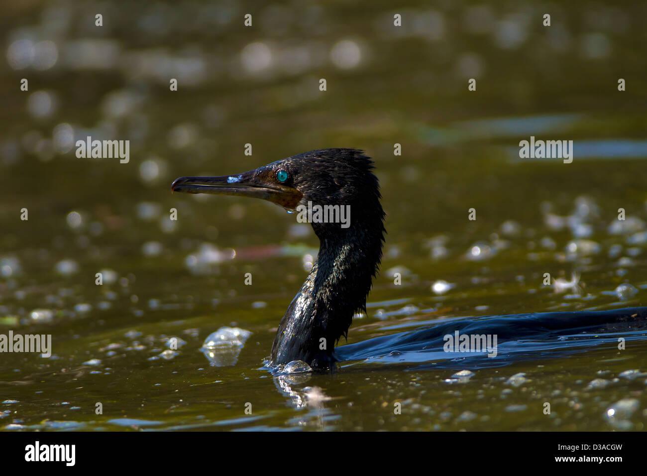 Cormorant bird in lake - Stock Image