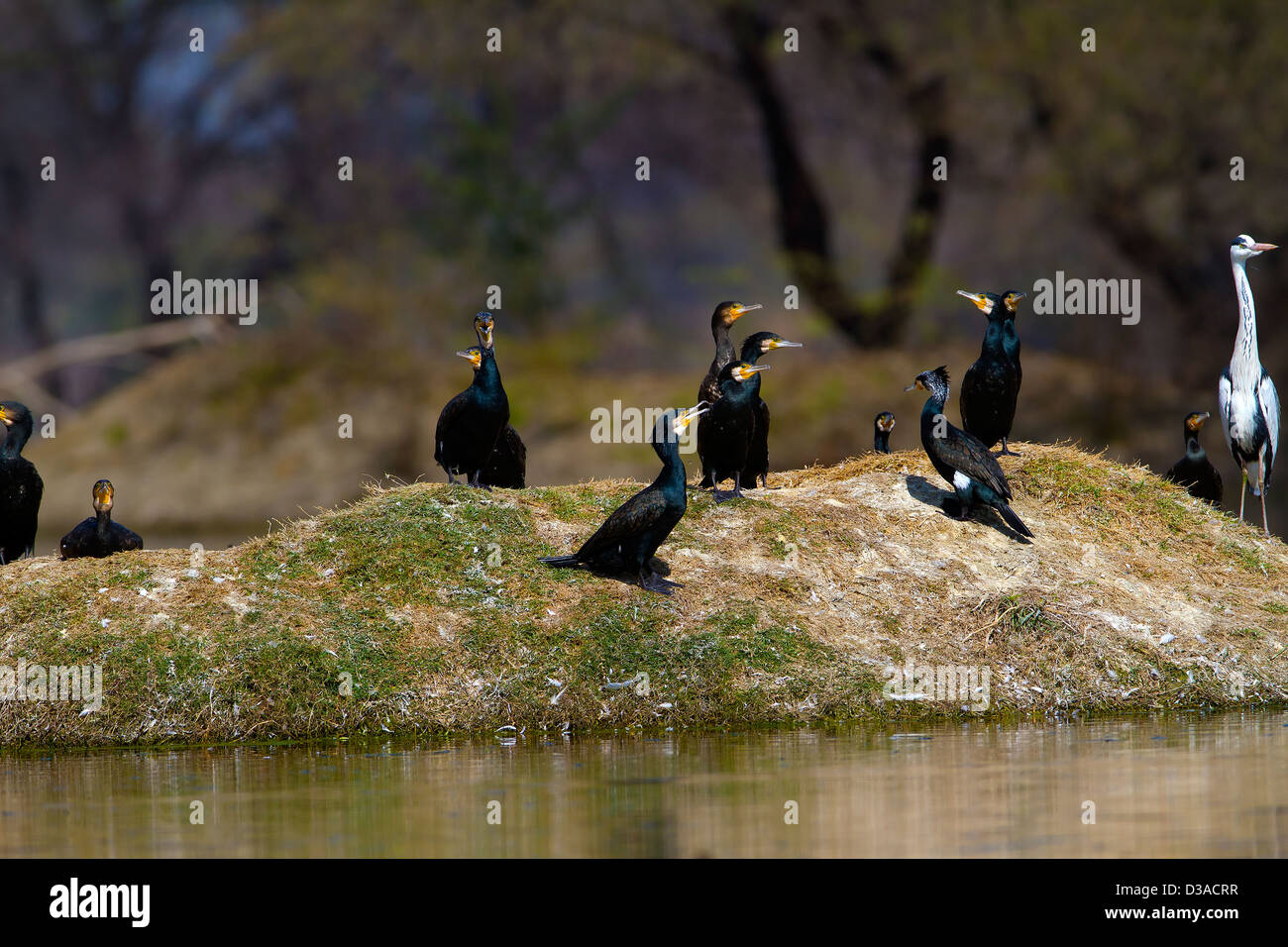 Cormorant Wing Freshwater Bird wild birds Animals And Pets