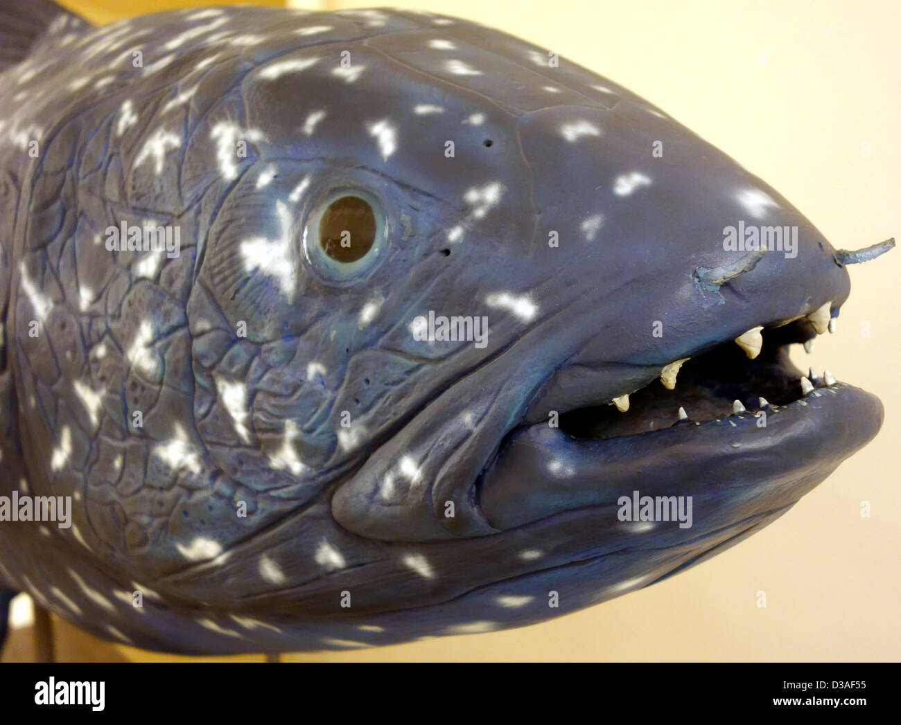 Model of extinct Coelacanth fish in museum in Santa Cruz de Tenerife, Canary Islands - Stock Image