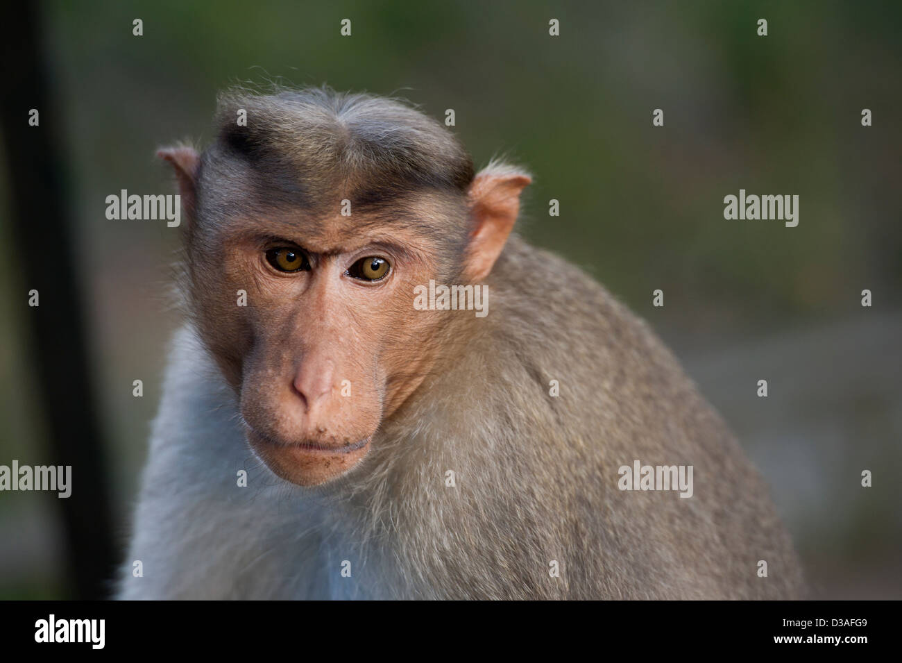 A Bonnet Macaque (Macaca radiata) in the Periyar Tiger Reserve near Thekkady in the Western Ghats, Kerala, India - Stock Image