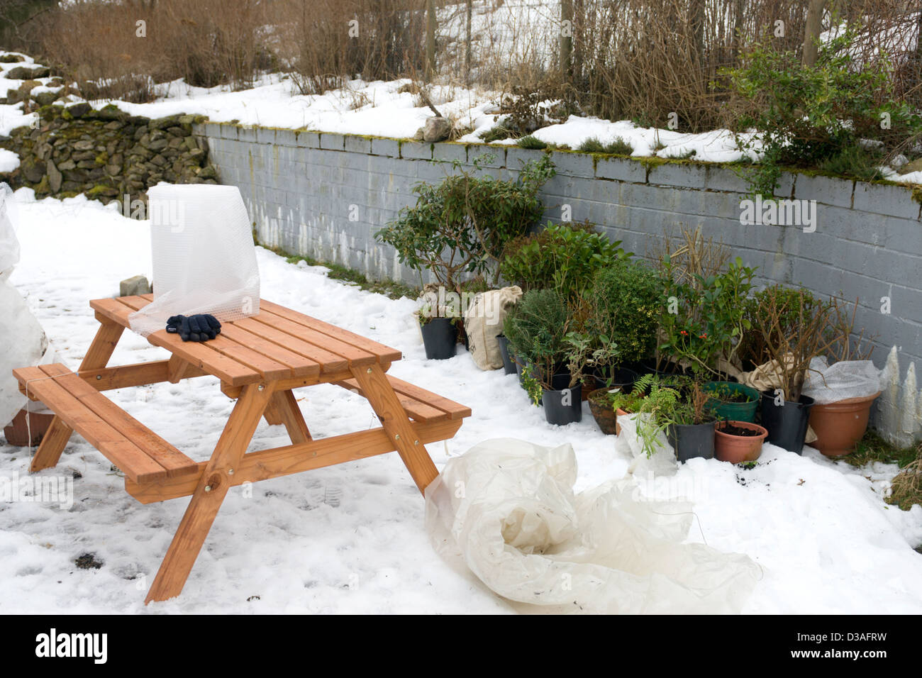 Potted plants lined up against a wall as some protection from the cold and snow before being covered with fleece - Stock Image