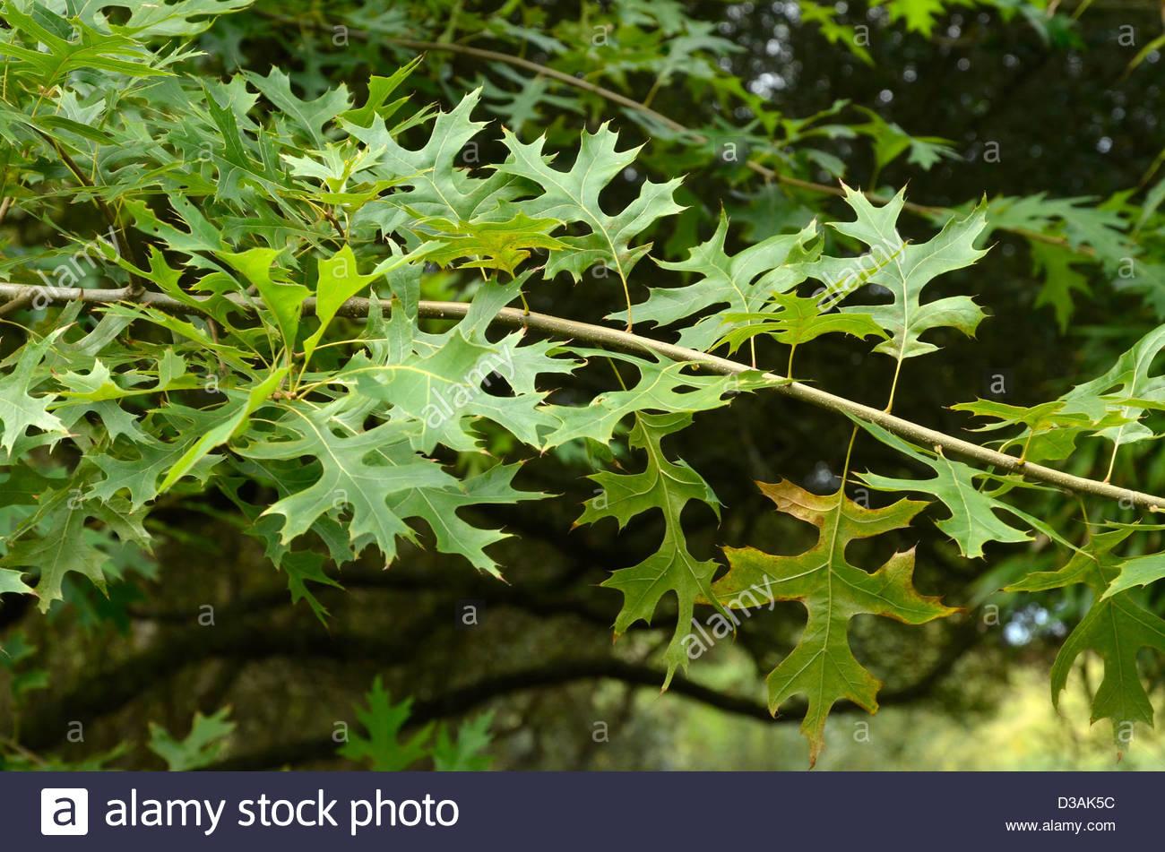 Oak Marsh, quercus palustris, Garden La Boulaye, Grand Cosquet, Locmaria, Belle-île-en-Mer, Brittany, Morbihan, - Stock Image