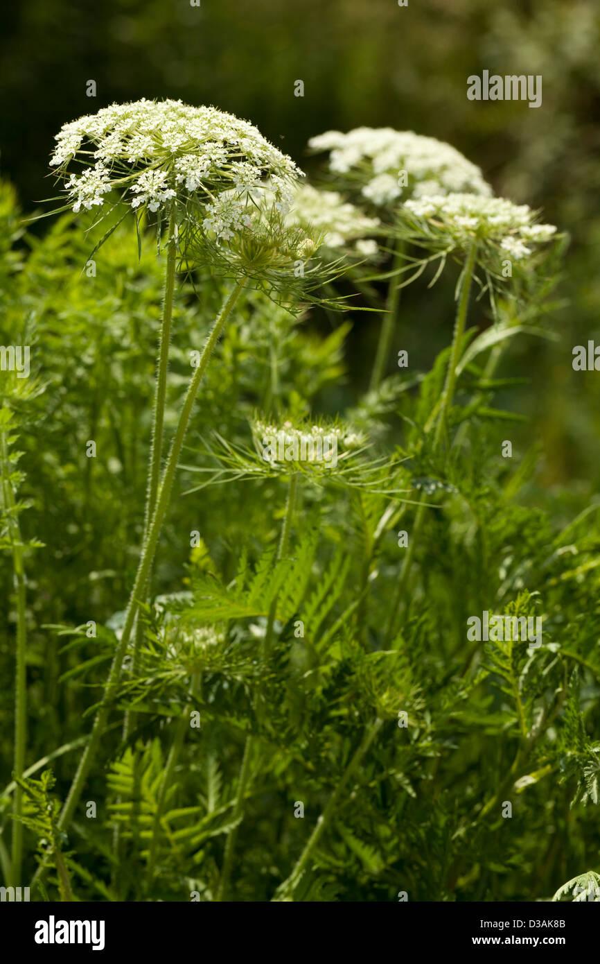 cluster white flower (Myrrhis Mill) on leaf background Stock Photo