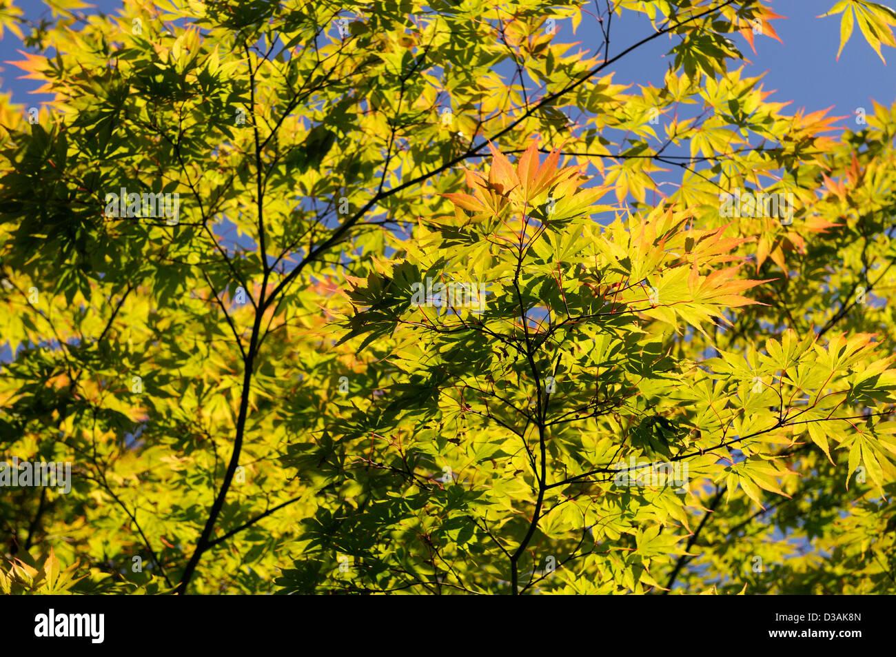 backlit backlighting japanese acer tree green orange tint tinge leaves leaf foliage - Stock Image