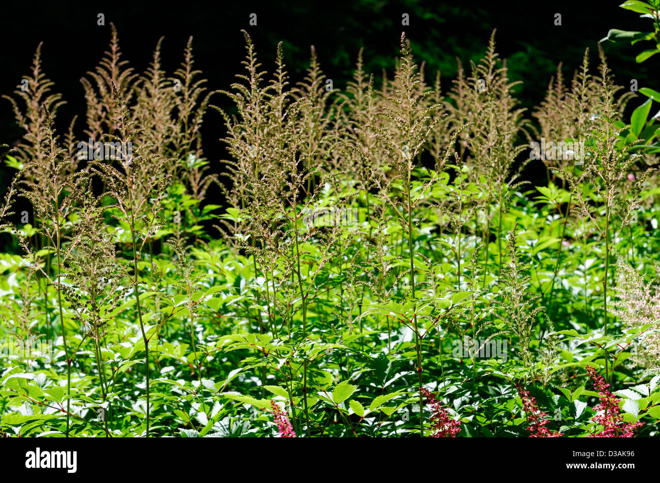 astilbe fluffy feathery perennials plant portraits closeup flowers flowering bloom - Stock Image
