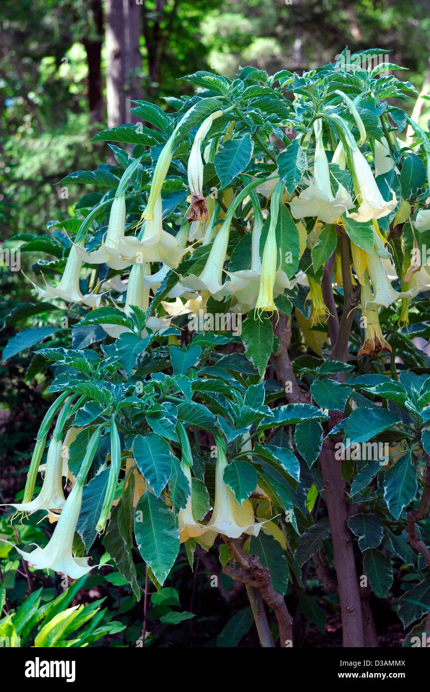 Brugmansia Candida Pale White Flowers Shrubs Flowering Bloom Exotic