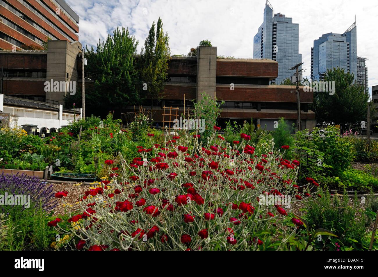 Davie Village Community Garden Vancouver BC Canada allotment Stock ...