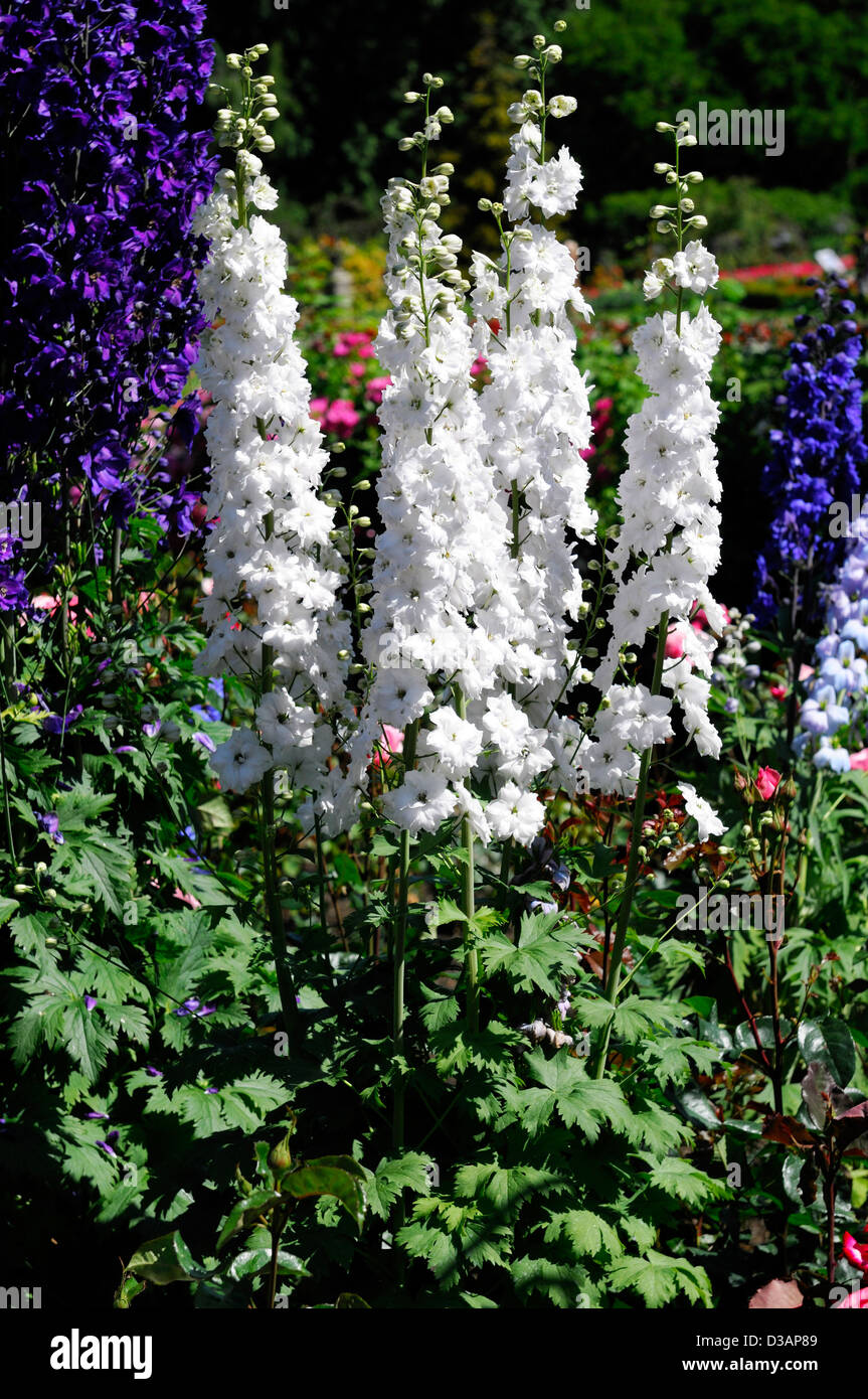 White blue delphinium flower spike flowers floweringspire tall stock white blue delphinium flower spike flowers floweringspire tall herbaceous perennial bloom blooming mightylinksfo Image collections