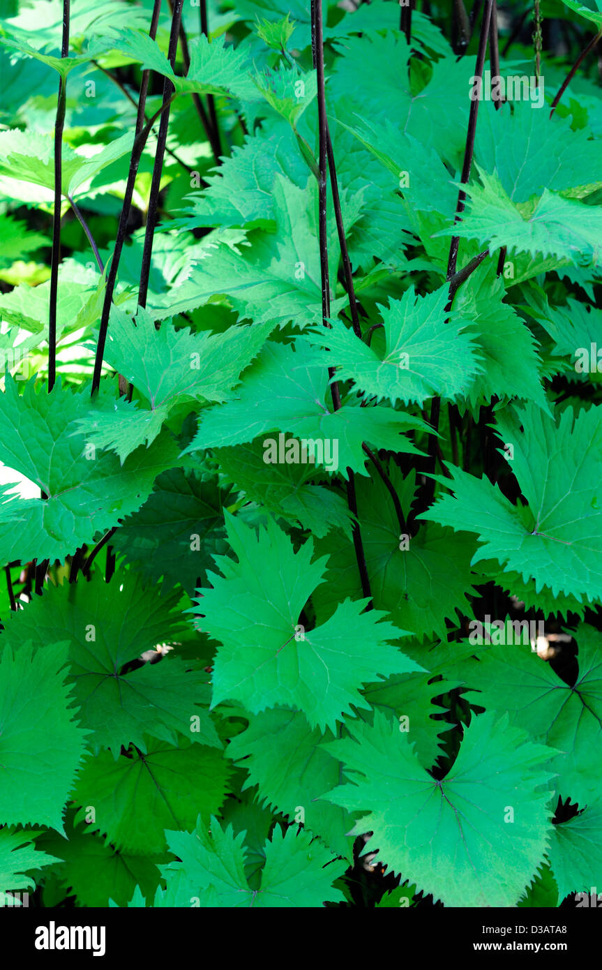 ligularia attractive serrated edge edged green foliage leaves stout tall firm herbaceous perennial - Stock Image