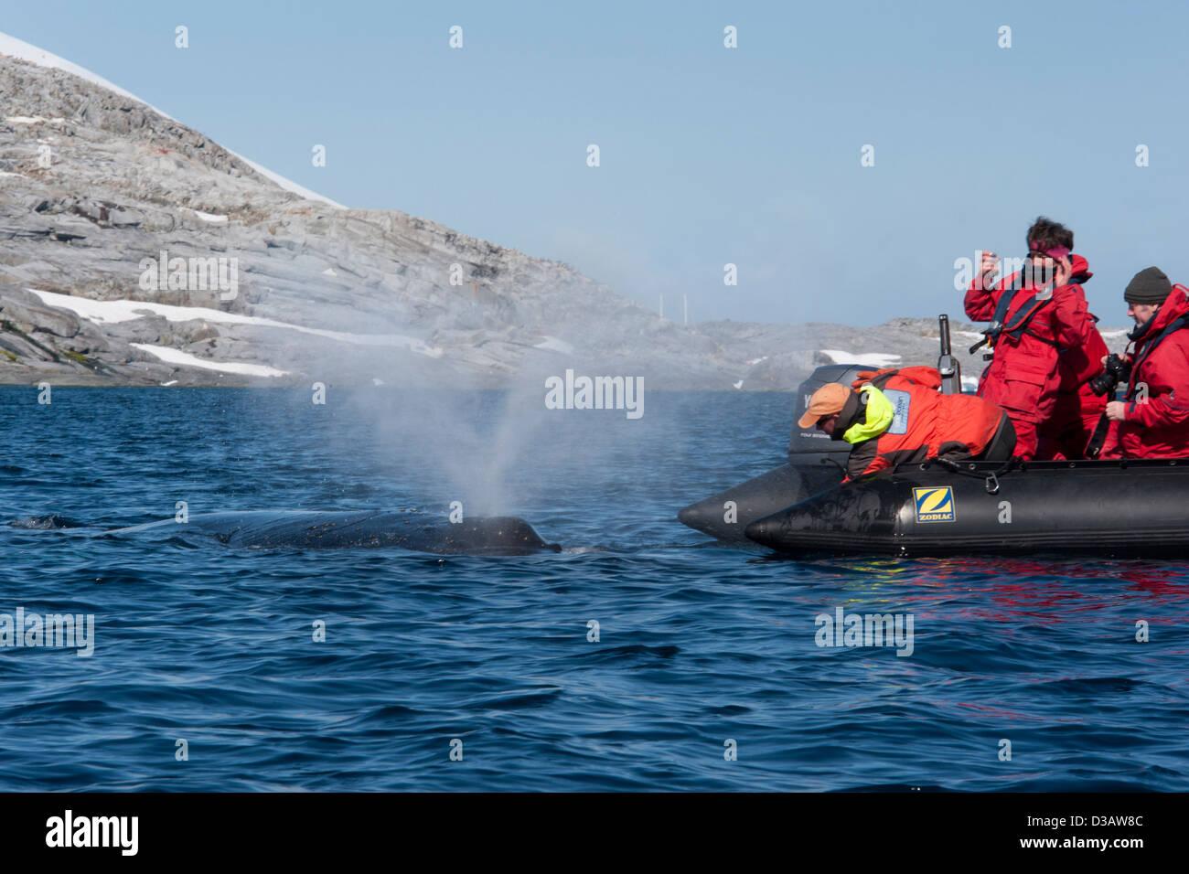 Friendly Humpback Whale (Megaptera novaeangliae), interacting with tourist zodiac. Antarctic Peninsula. - Stock Image