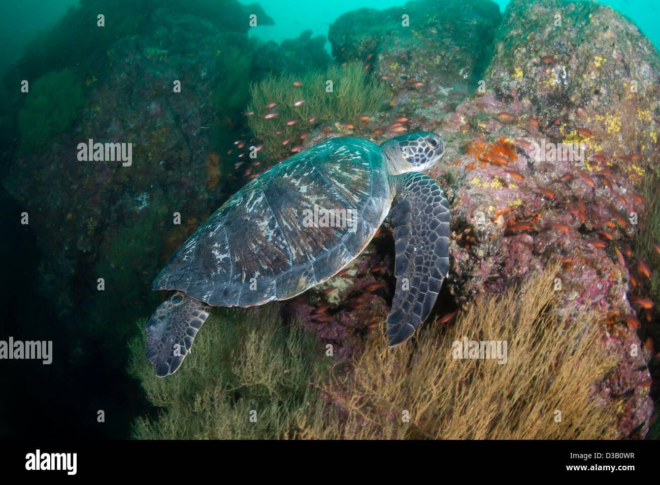 An endangered species, green sea turtle, Chelonia mydas, at Gordon Rocks, Galapagos Archipelago, Ecuador. - Stock Image