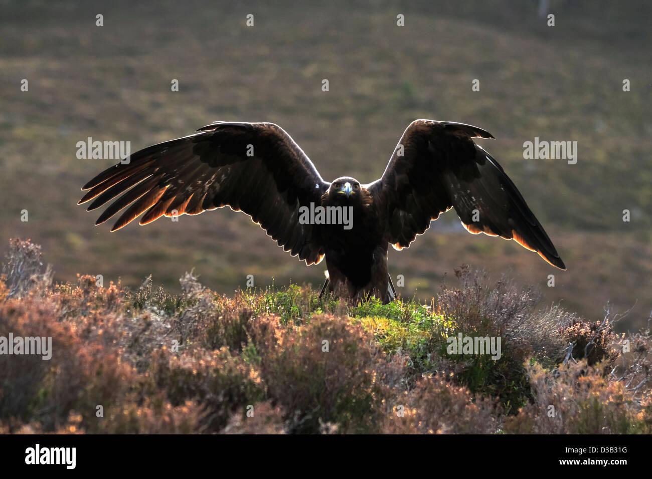 Golden Eagle in Scottish Highlands - Stock Image