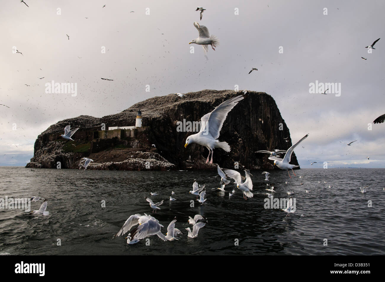 Herring gulls (Larus argentatus) pouncing on fish tossed into the water to attract gannets near the Bass Rock. - Stock Image