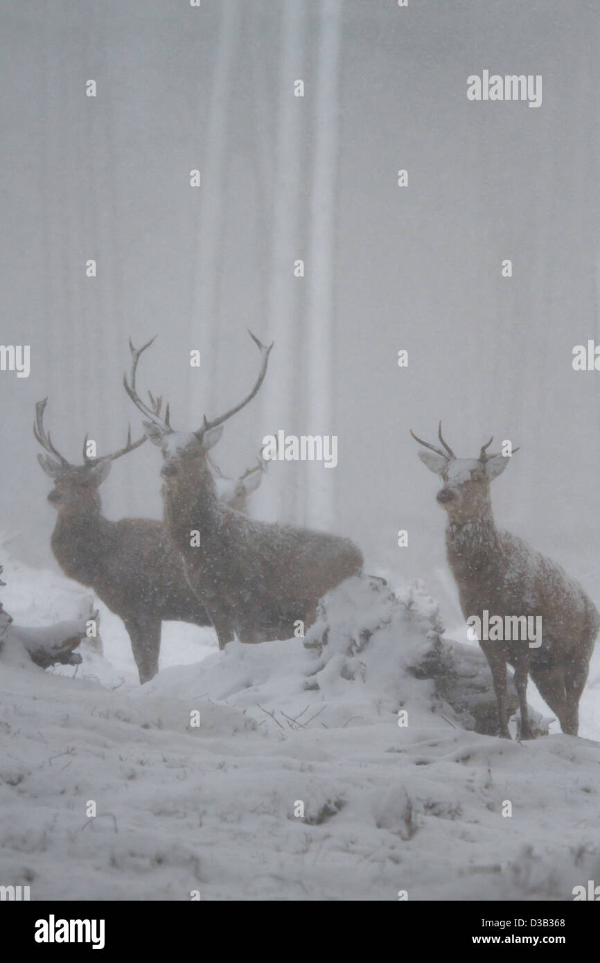 Red deer stags in a blizzard, Scottish Highlands - Stock Image
