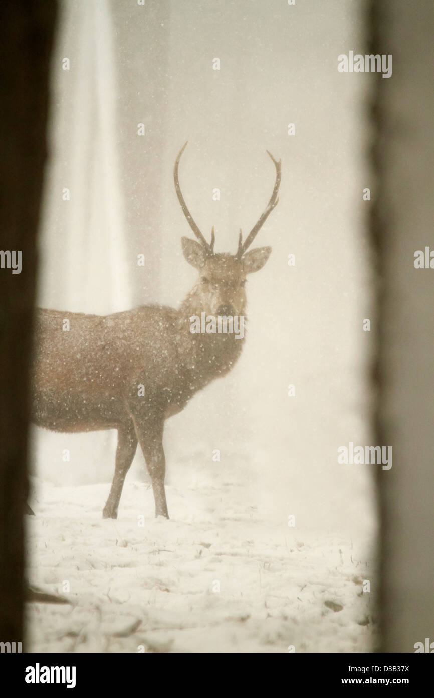 Red deer in snow, Scottish Highlands - Stock Image