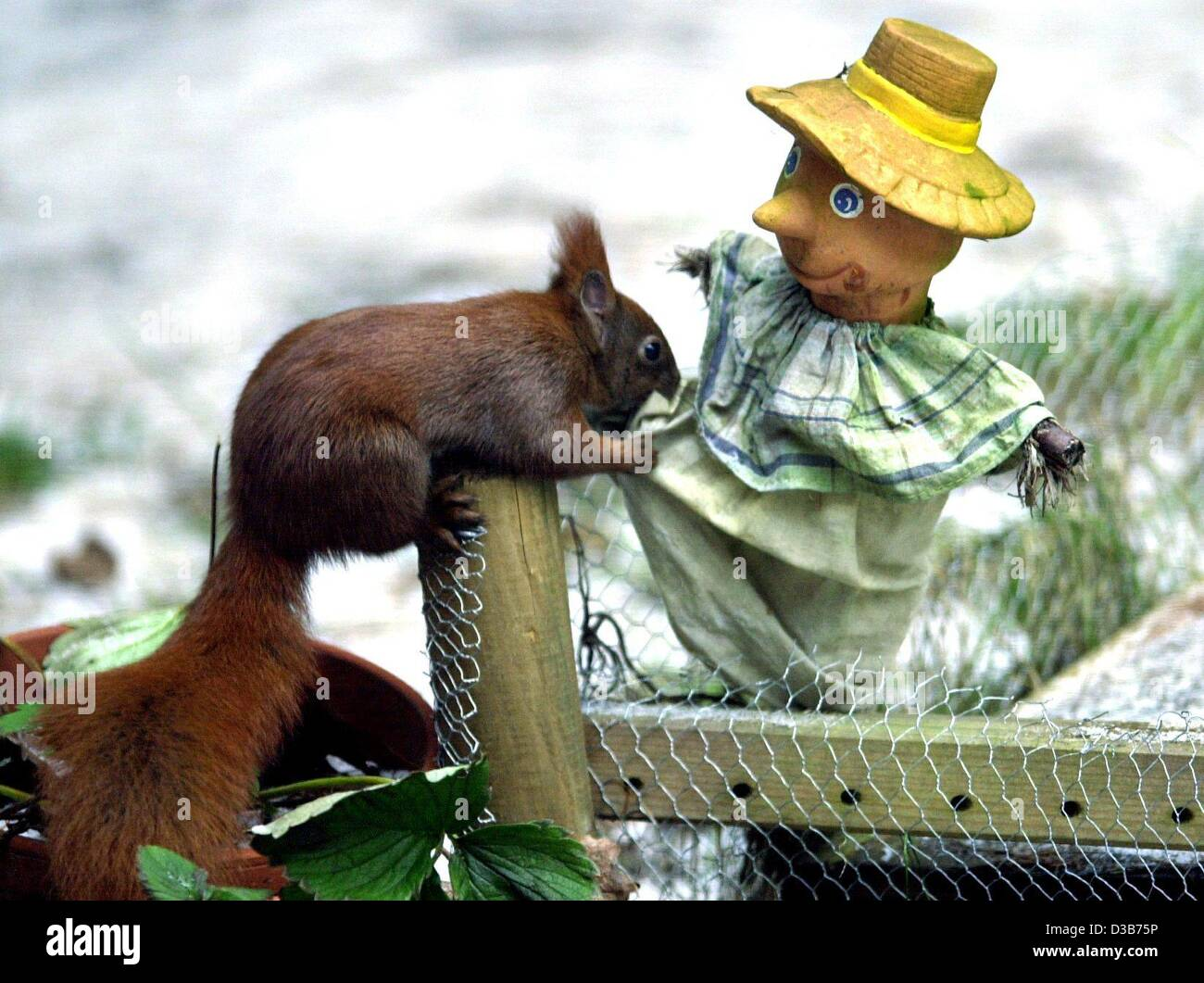 (dpa) - A hungry squirrel frisks a scrarecrow in a garden in Hamburg, 22 December 2002. At temperature below zero - Stock Image