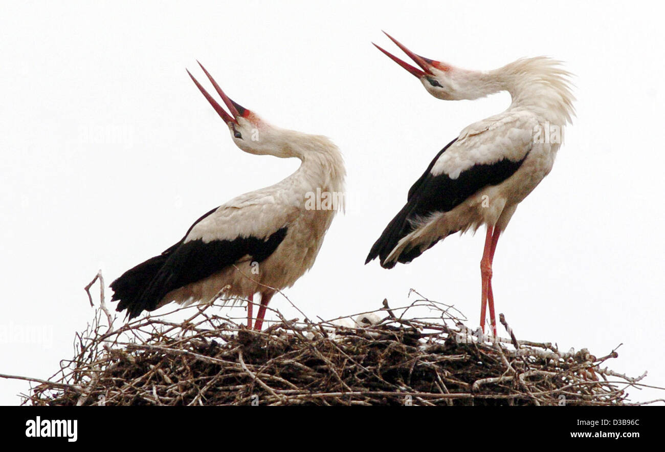 (dpa) - A stork couple performs a clacking duet, while their offspring (C, bottom, covered) spies carefully over - Stock Image
