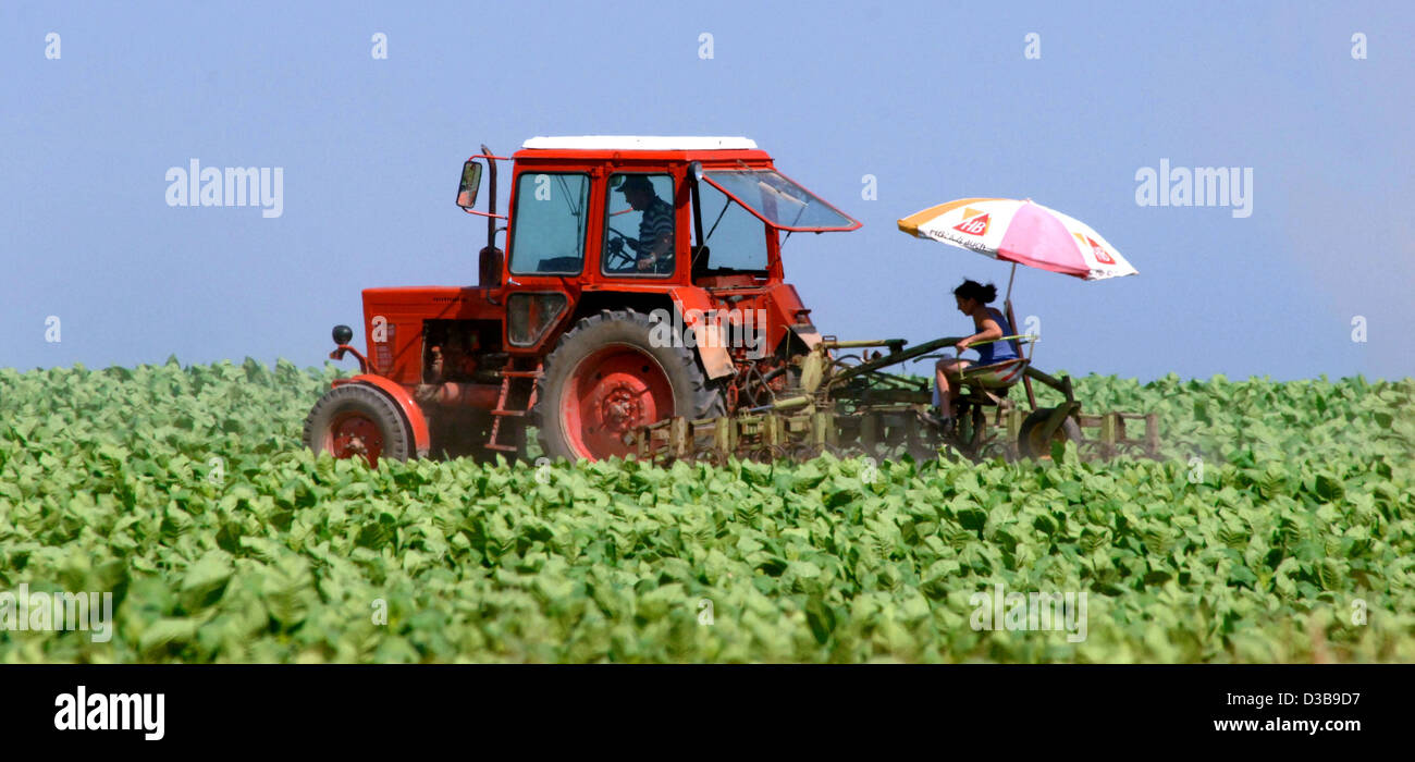 (dpa) - The picture shows a woman under a sun shade behind a tractor ploughing a tobacco field near Frankfurt Oder, - Stock Image