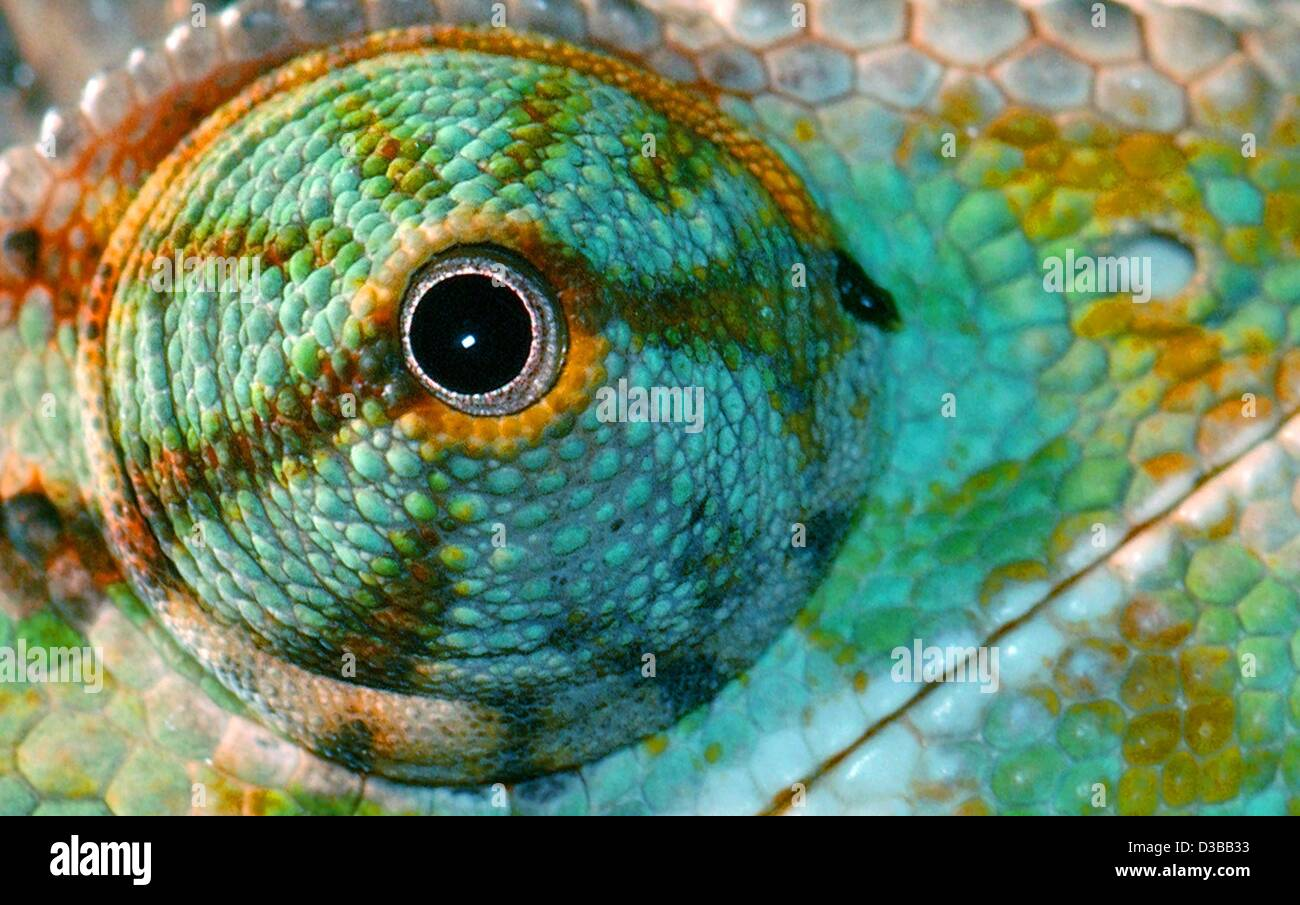(dpa) - The eye of a Veiled Chameleon stars at the photographer in the zoo in Cologne, Germany, 27 October 2002. - Stock Image