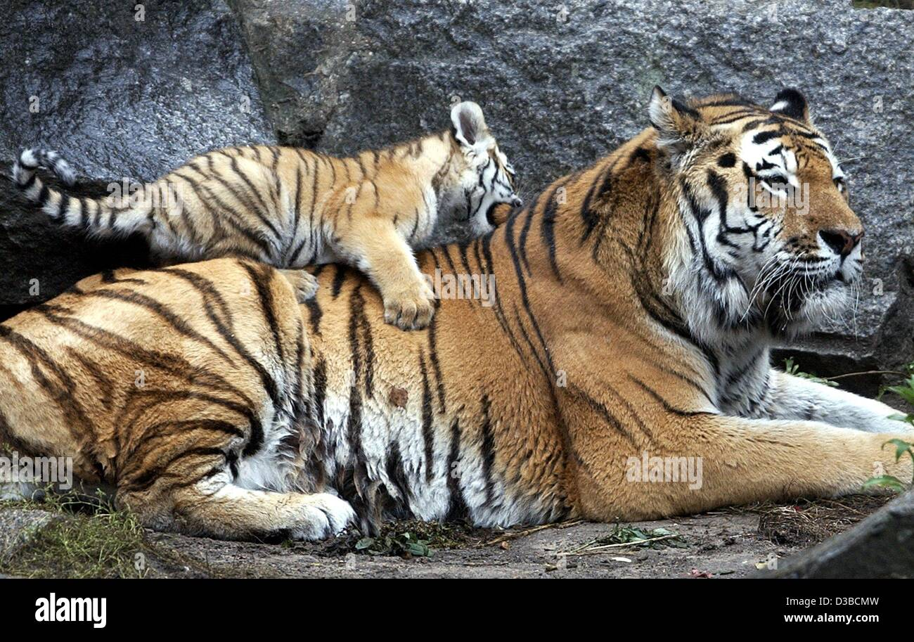 (dpa) - 12-week-old tiger girl Amudaja climbs on the back of her father Turan in the zoo in Berlin, 8 October 2002. - Stock Image