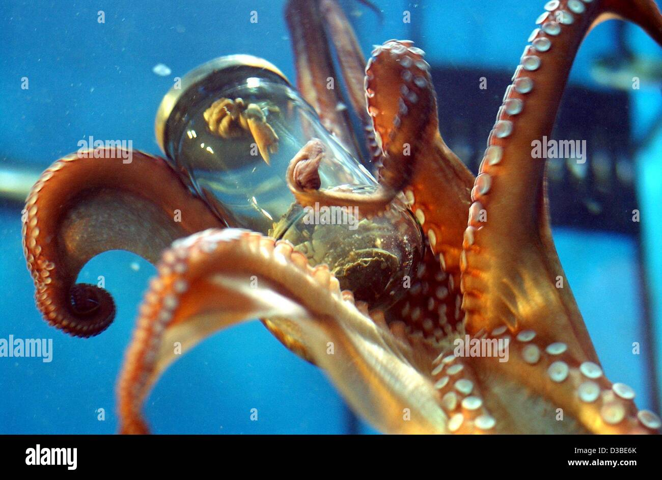 (dpa) - An octopus with his tentacles and suction cups grabs and opens a jar with 'yummy' crabs, at the - Stock Image