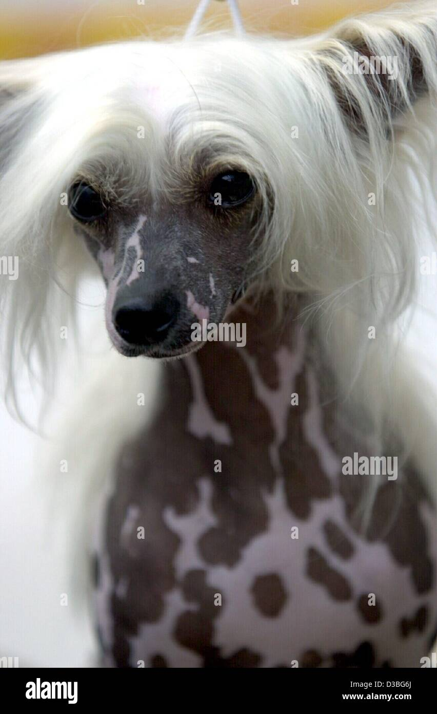 (dpa) - The hairless Chinese Crested 'Unlimeted Edition' is pictured at the international dog show in Frankfurt, - Stock Image