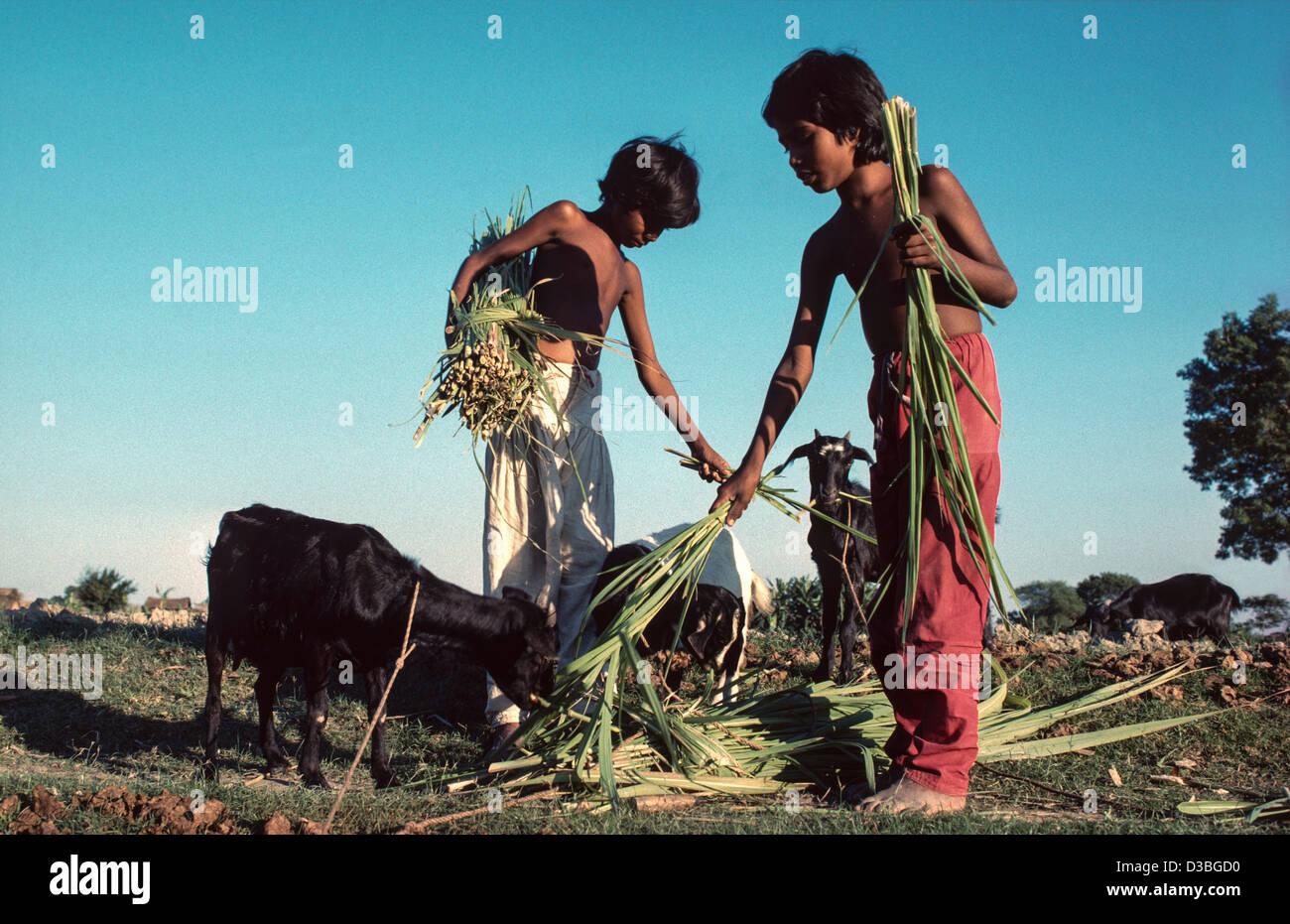 Brother and sister captive feeding family goats. Tangail District, Bangladesh - Stock Image