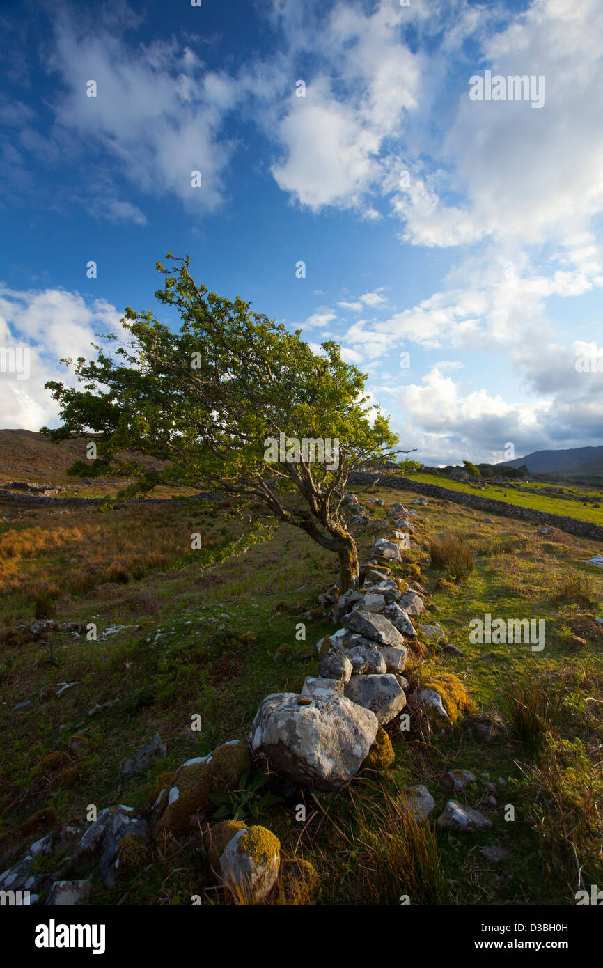 Wind-bent hawthorn tree on a hillside above Killary Harbour, Connemara, County Galway, Ireland. - Stock Image