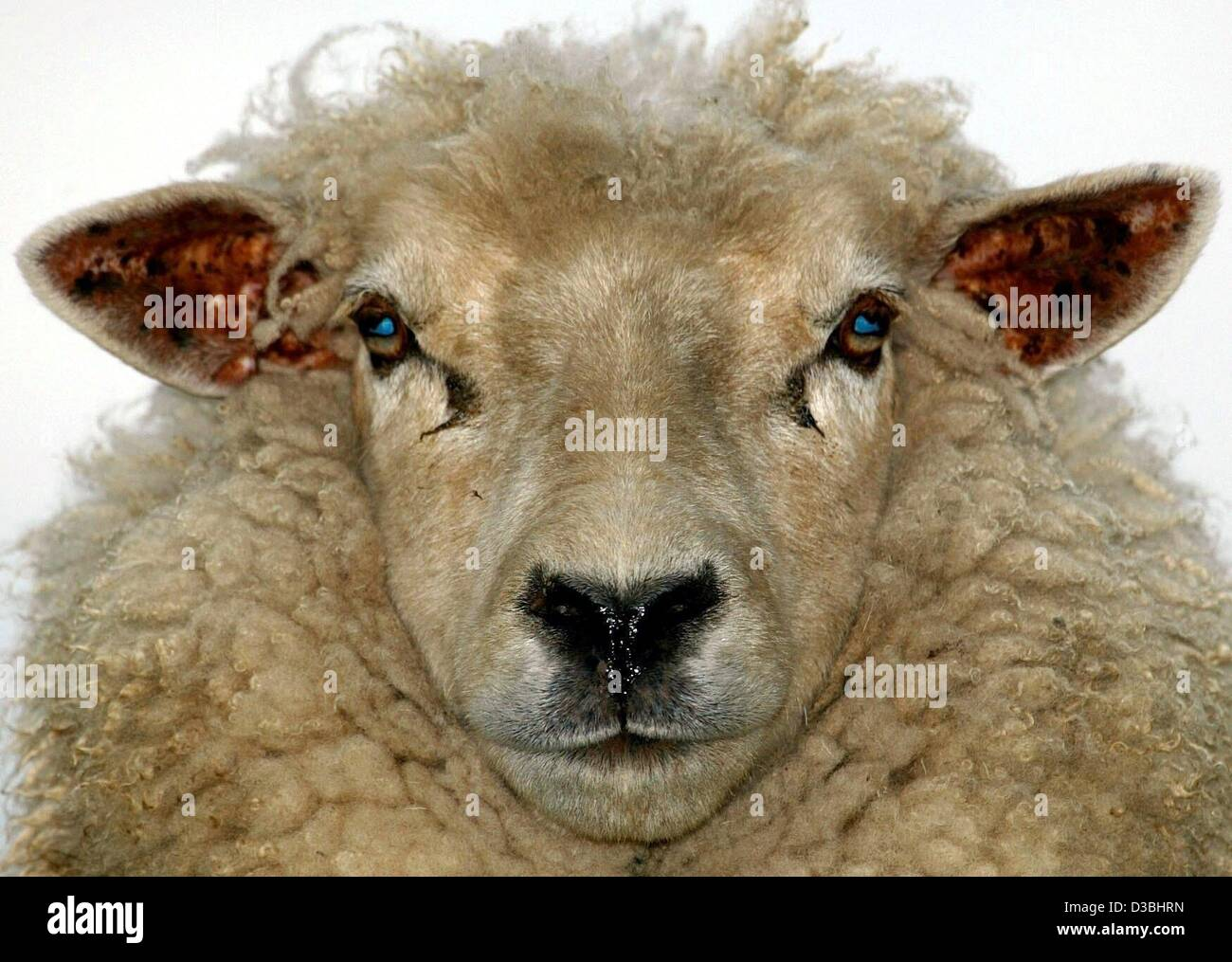 (dpa) - A sheep stands on a dike and looks into the camera in Kronsnest, Germany, 1 May 2003. Breeding these animals - Stock Image