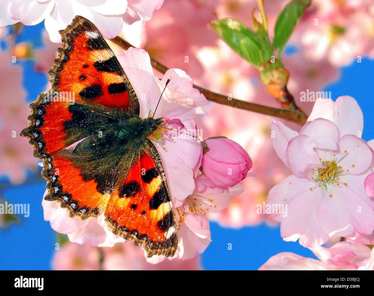 (dpa) - A Small Tortoiseshell butterfly savours nectar from cherry blossoms in Magdeburg, Germany, 15 April 2003. - Stock Image