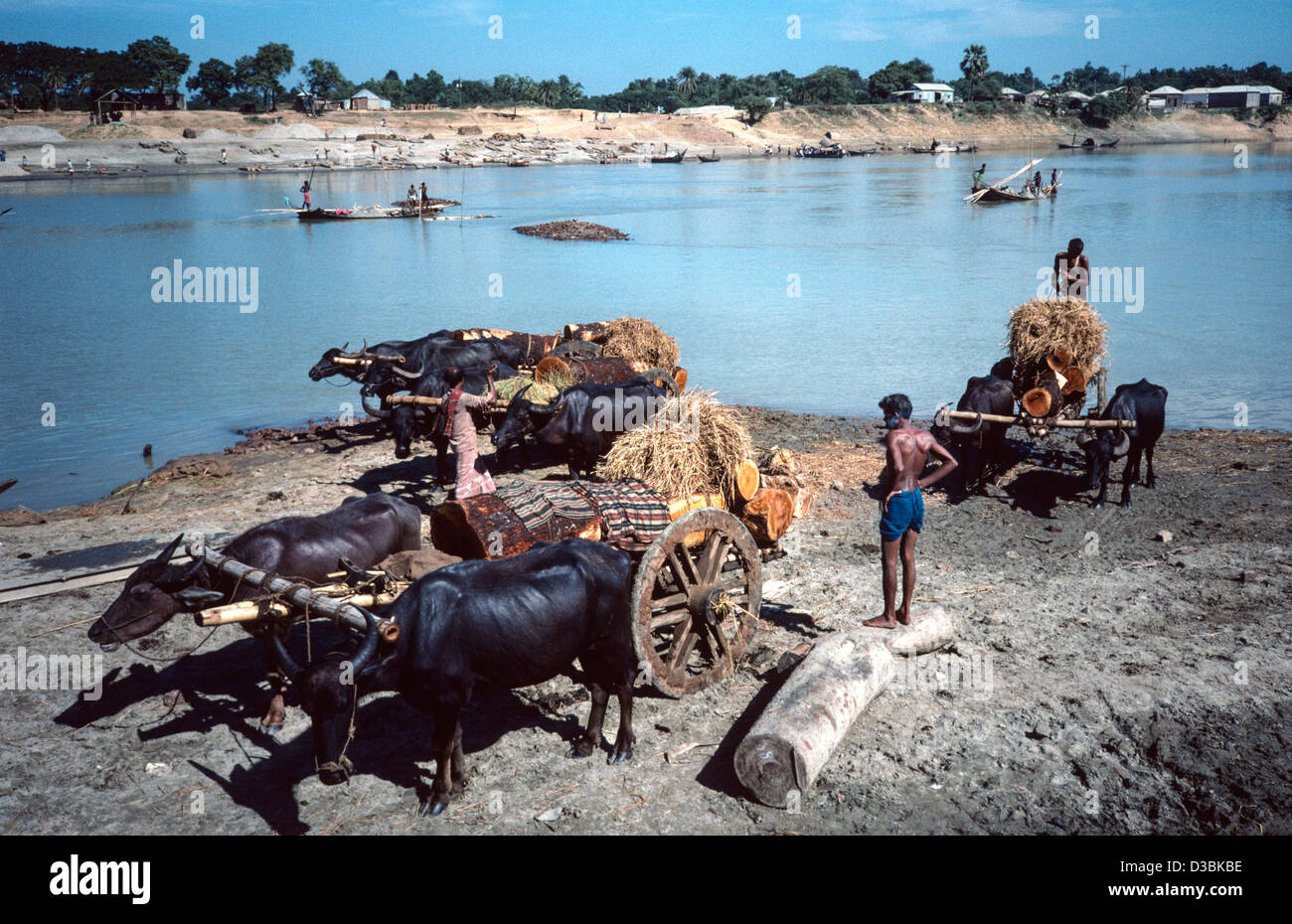 Hardwood logs, possibly illegally felled, loaded onto buffalo carts after being brought down river by boat. Tangail, - Stock Image