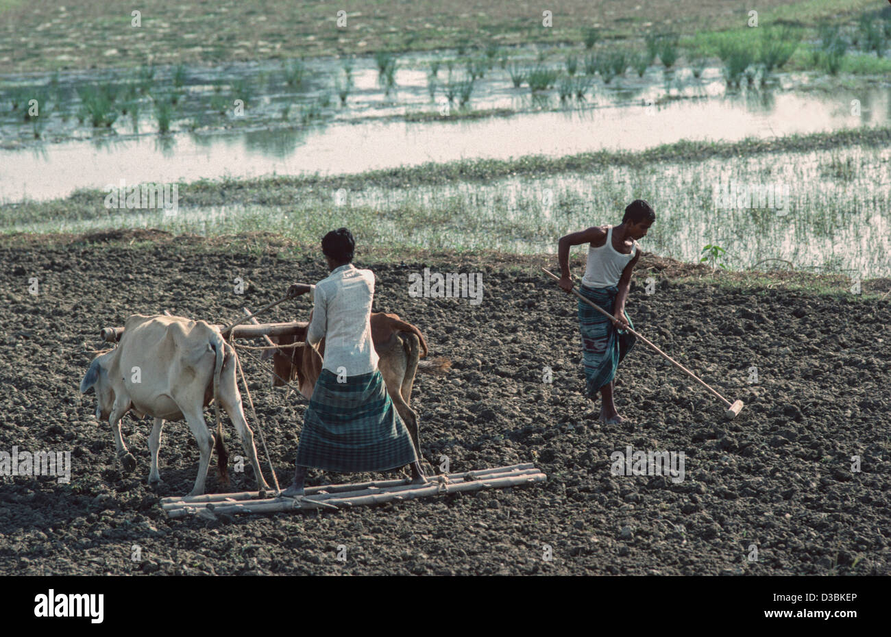 Breaking up soil with a board harrow pulled by oxen. Another farm worker is breaking up the soil by hand. Tangail, - Stock Image