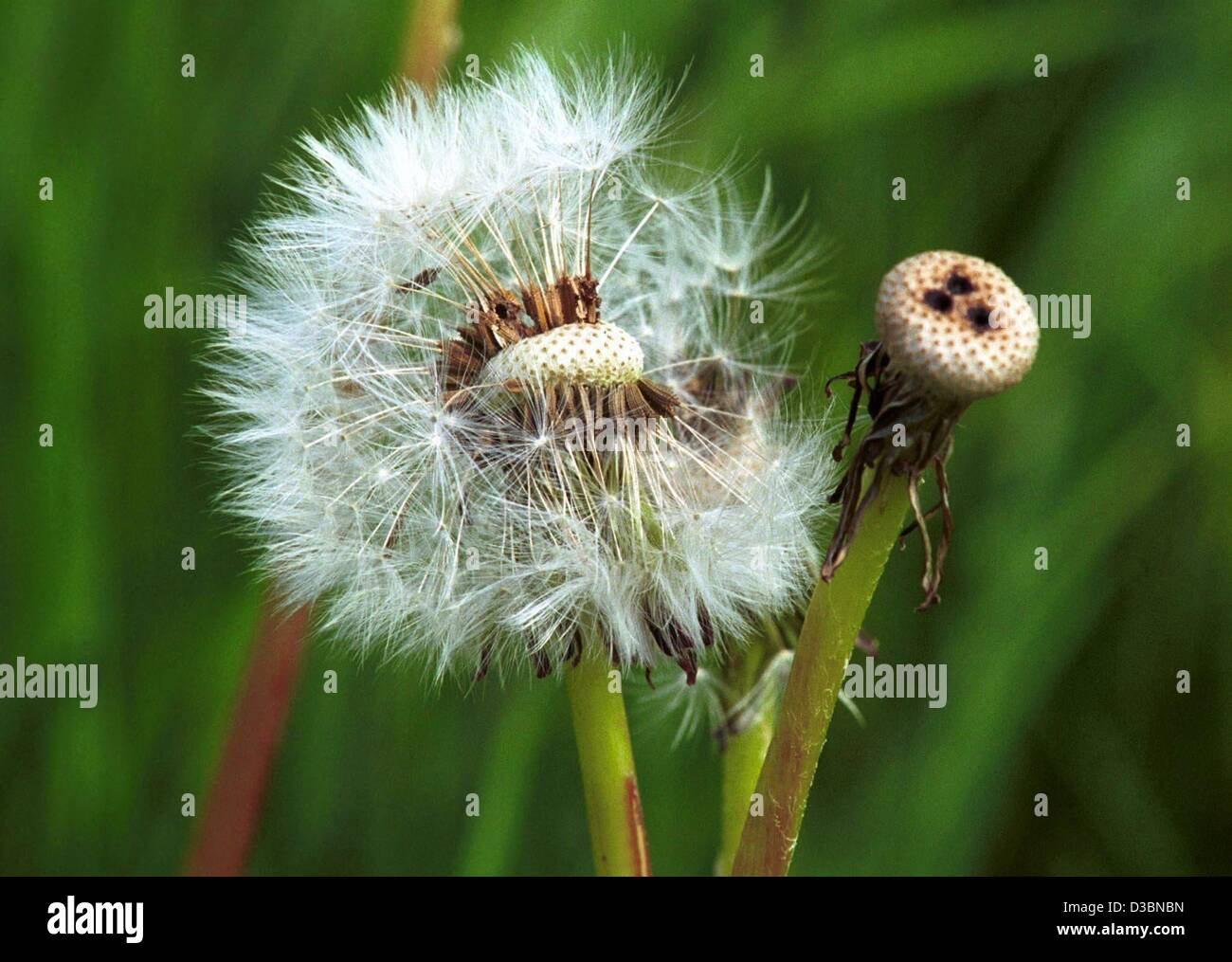 (dpa) - A mature dandelion has changed from a yellow bloom into a blowball with parachute-like plumed seeds, Heckendalheim, - Stock Image