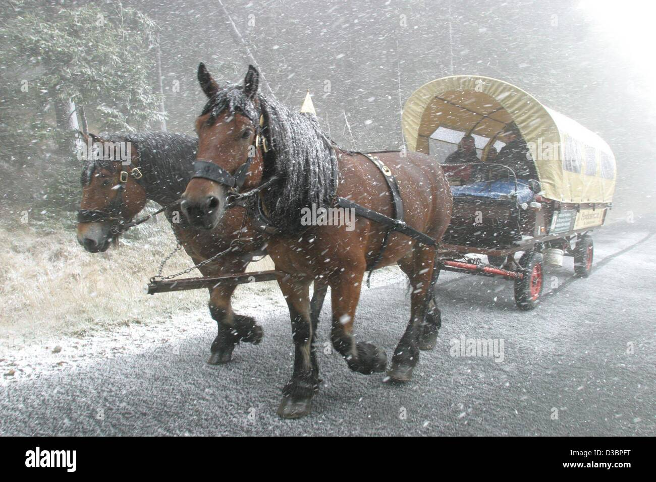 (dpa) - A stagecoach with two horses drives through dense snowfall on a road on the Brocken Mountain, in the Harz - Stock Image