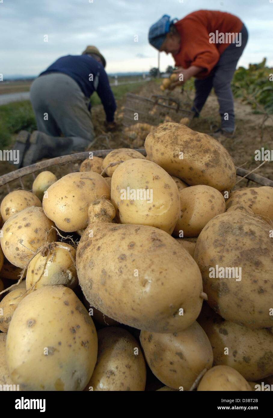 (dpa) - Two farmers harvest potatoes near Osterhofen, Germany, 23 September 2003. The dry summer has resulted in - Stock Image