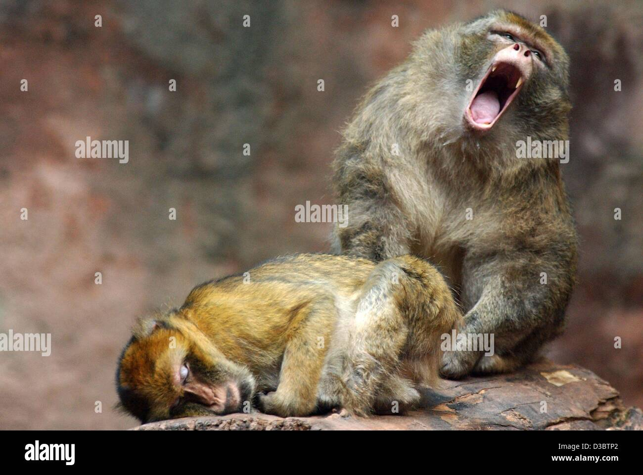 (dpa) - A male barbary macaque yawns while his female partner is still sleeping at his feet, in the zoo in Nuremberg, - Stock Image